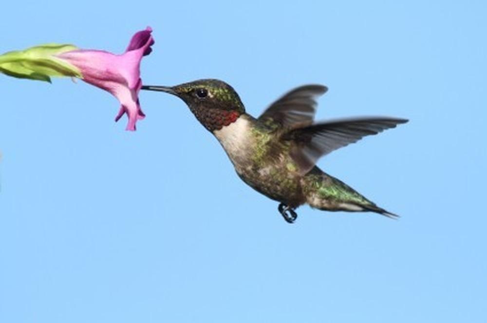 Suis je un vautour ou un oiseau mouche david porter enseignemoi - Oiseau mouche dessin ...